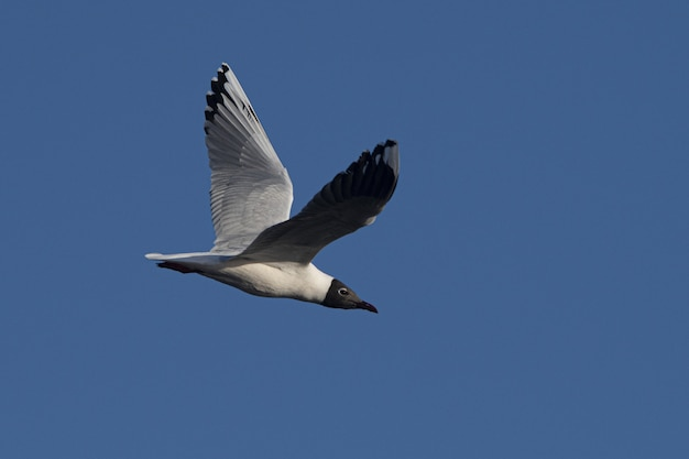 Closeup shot of a laughing gull with the wings spread up flying