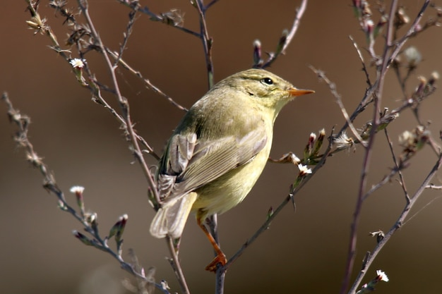 Closeup shot of a leaf warbler perched in the branches
