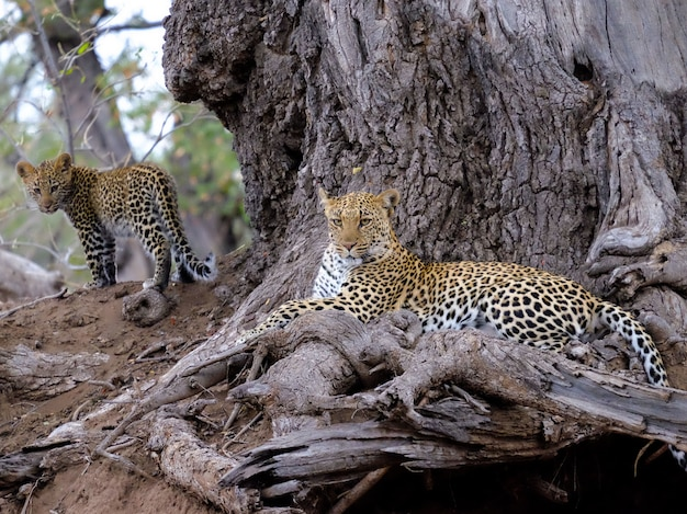 Closeup shot of a leopard with her baby near brown tree trunk