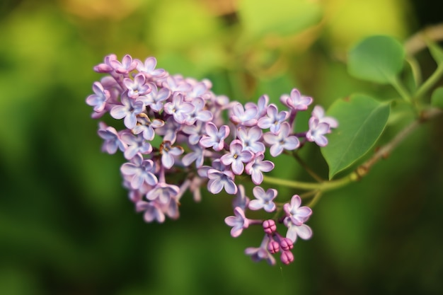 Closeup shot of a lilac flower with a blurry background