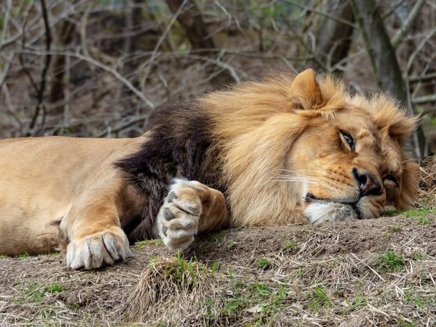 Colpo del primo piano di un leone che pone sull'erba con i boschi sullo sfondo