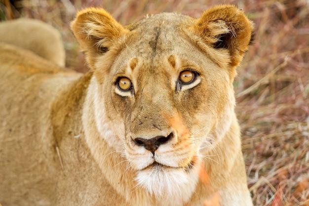 Primo piano di un leone in safari
