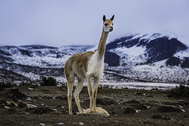 Closeup shot of a llama in the mountains of ecuador located in the chimborazo volcano
