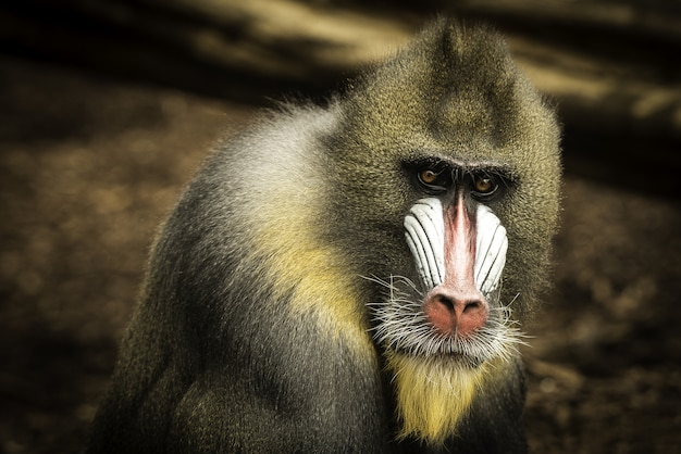 Closeup shot of a lonely mandrill on a blurred
