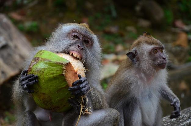 Primo piano di macachi che mangiano gusci di cocco verdi