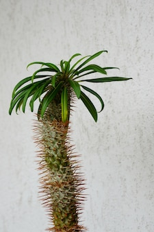Closeup shot of a madagascar palm plant against a white concrete wall
