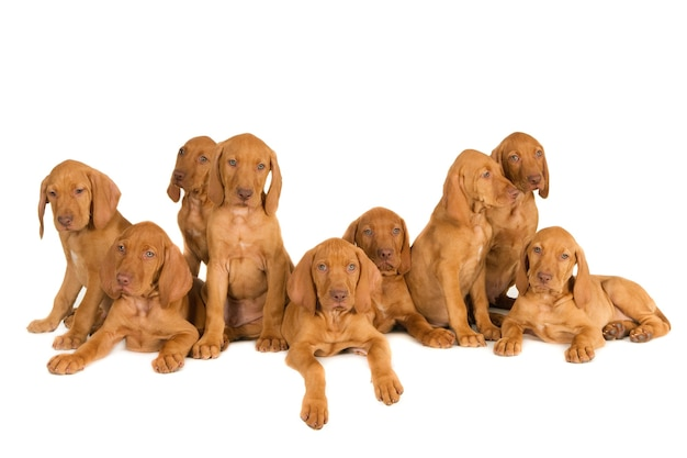 Closeup shot of magyar vizsla puppies isolated on a white surface