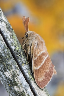 Closeup shot of a male fox moth on a tree trunk in the forest