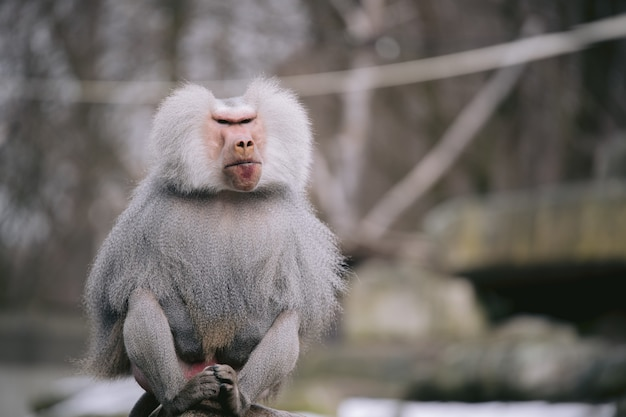 Closeup shot of a male hamadryas baboon with a beautiful silver cape and fierce eyes