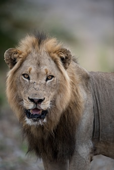 Closeup shot of a male lion