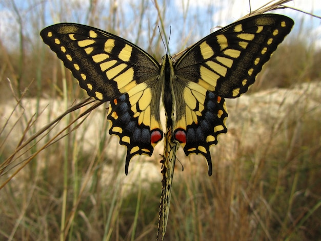 Closeup shot of a maltese swallowtail in malta