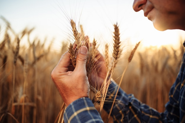 Closeup shot of a man checking the quality of the wheat spikelets on a sunset