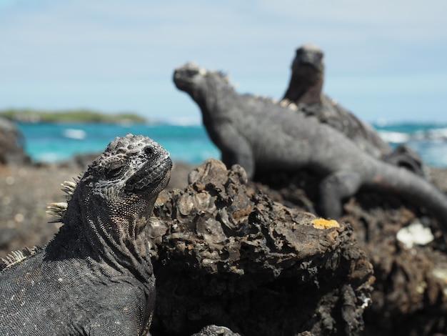 Closeup shot of marine iguanas on rocks