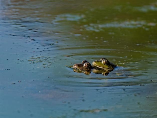 Colpo del primo piano della rana di palude pelophylax ridibundus nel lago in europa