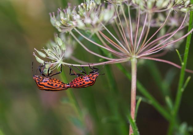 Closeup shot of mating striped shield bugs