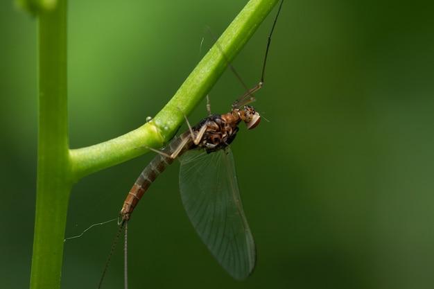 Closeup shot of a mayflie on a green plant