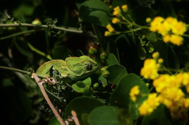 Colpo del primo piano del camaleonte mediterraneo tra le foglie delle piante di cappero