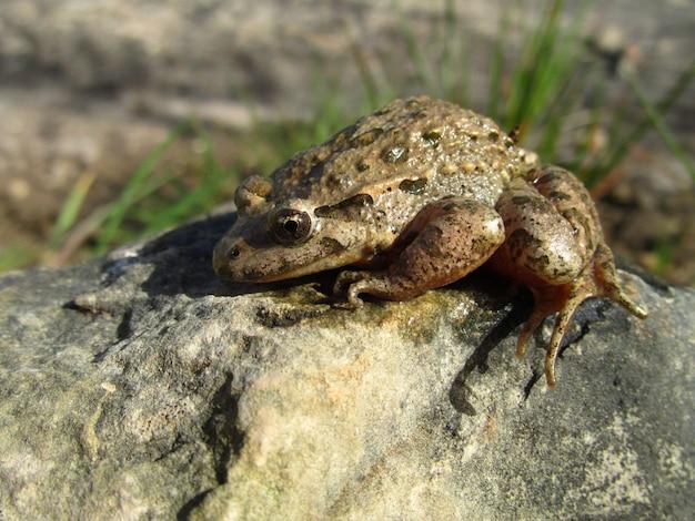 Colpo del primo piano di una rana dipinta del mediterraneo su una roccia