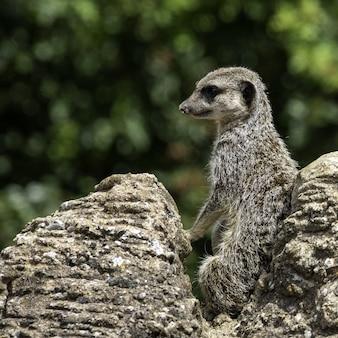 Colpo del primo piano di suricato con uno sfondo bokeh