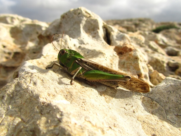 Closeup shot of a migratory locust on a rock  under the sun