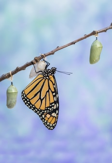 Closeup shot of a monarch butterfly on a pink salvia with blue-toned sky