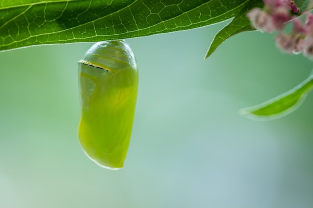 Closeup shot of a monarch butterfly pupa hanging from a leaf