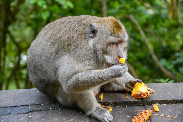 Closeup shot of monkey eating pineapple in the zoo