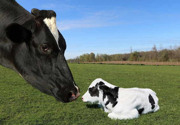 Closeup shot of a mother cow with an adorable calf in a grassy field