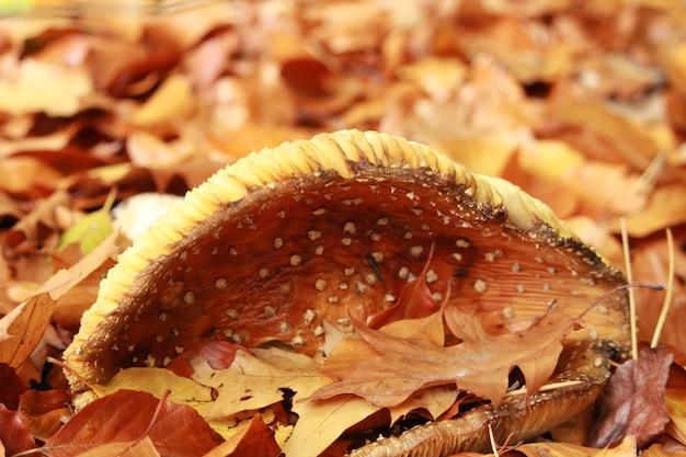 Colpo del primo piano di un fungo che cresce tra le foglie secche in autunno