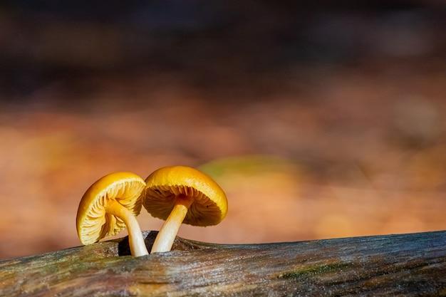 Primo piano di funghi in una piantagione di foreste di pini nella foresta di tokai, cape town, sud africa