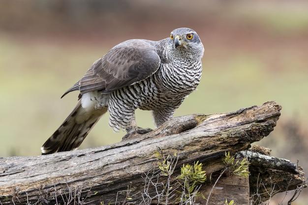 Colpo del primo piano di un uccello di azor settentrionale seduto su un pezzo di legno