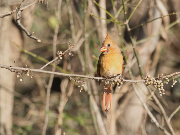 Closeup shot of a northern cardinal