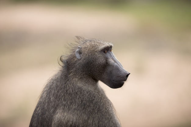 Крупным планом выстрел обезьяны павиан
