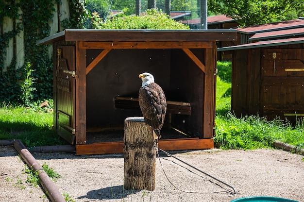 Крупным планом выстрелил белоголовый орлан, сидящий на пне в парке в солнечный день