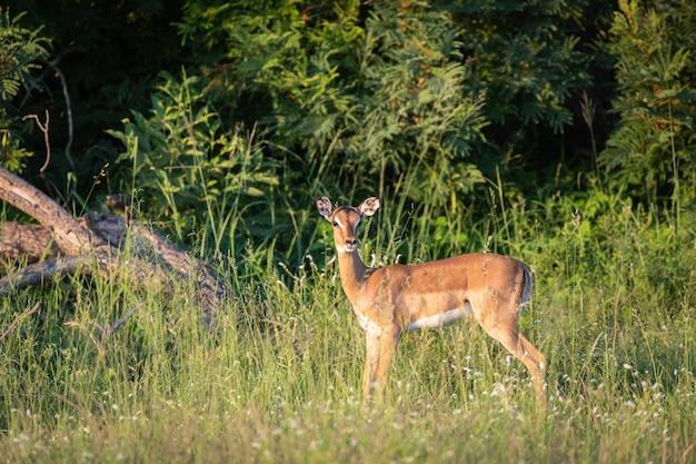 緑の草の上に立っている美しい赤ちゃん鹿のクローズアップショット