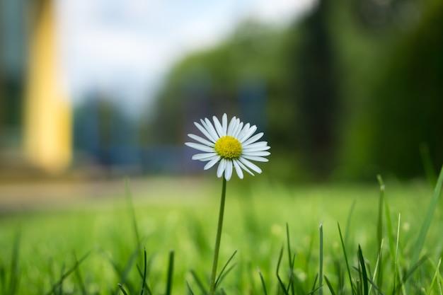 Крупным планом выстрелил красивый цветок ромашки
