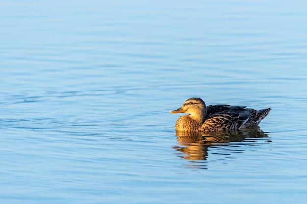 Снимок красивой утки, плавающей в чистой воде озера
