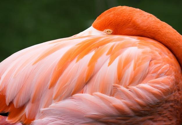 Снимок крупным планом красивый фламинго