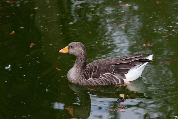 Снимок крупным планом красивого серого гуся, плавающего на воде