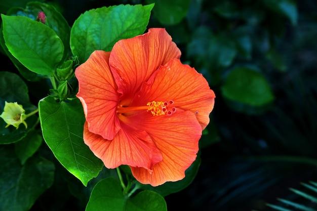 이탈리아의 토스카나 엘바에있는 아름다운 하와이 히비스커스의 근접 촬영 샷