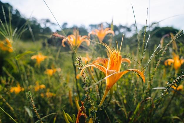 フィールドに美しいオレンジ色の花びらのカンゾウの花のクローズアップショット