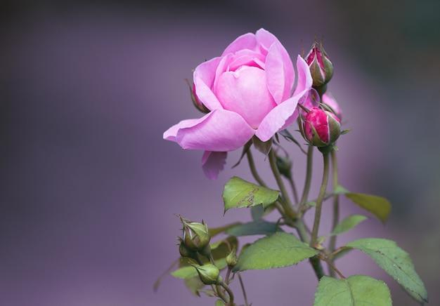 아름 다운 핑크 가든 로즈의 근접 촬영 샷