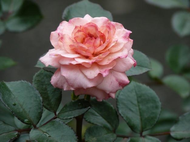ぼやけた表面に美しいピンクのバラの花のクローズ アップ ショット