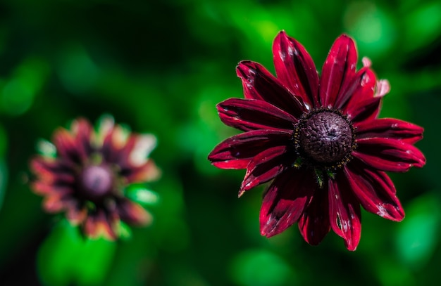 ぼやけた上に美しい紫の花びらの黒い目のスーザンの花のクローズアップショット