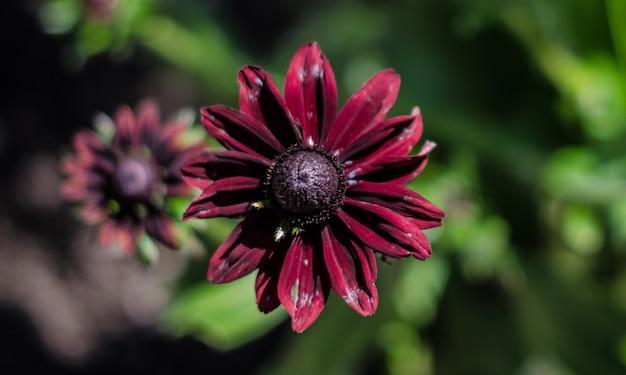 아름다운 보라색 꽃잎 검은 수잔 꽃의 근접 촬영 샷
