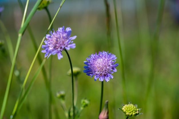 아름 다운 보라색 핀쿠션 꽃의 근접 촬영 샷
