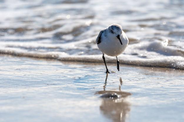 해안에 있는 아름다운 sanderling 새의 근접 촬영