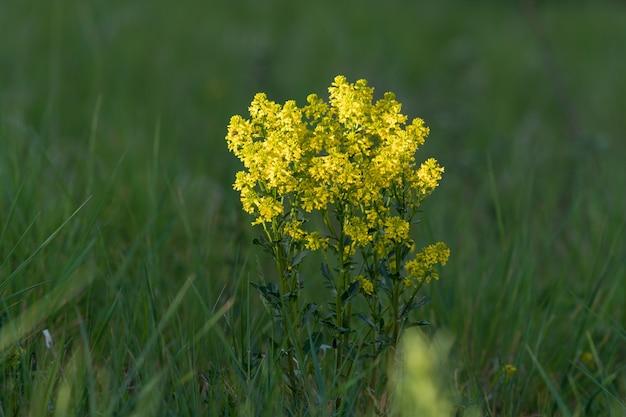 草に囲まれた美しいソリダゴの花のクローズアップショット