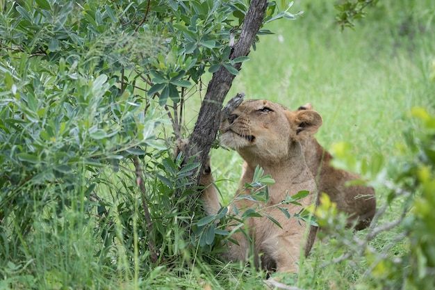 木の幹の下の緑の草の上に座っている美しいトラのクローズアップショット