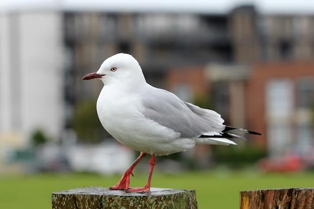 Съемка крупного плана красивой белой европейской чайки сельдей стоя на древесине
